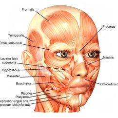 Human Head And Neck Muscle Diagram Labeled Blank To Label Skeletal Review