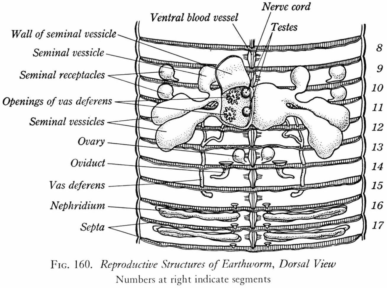 worm diagram labeled e36 stereo wiring earthworm dissection