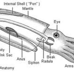 Labeled Squid External Anatomy Diagram Hopkins Rv Plug Wiring Dissection Lab Companion You Will Also Be Required To Identify The Items On One Or More Of These Diagrams