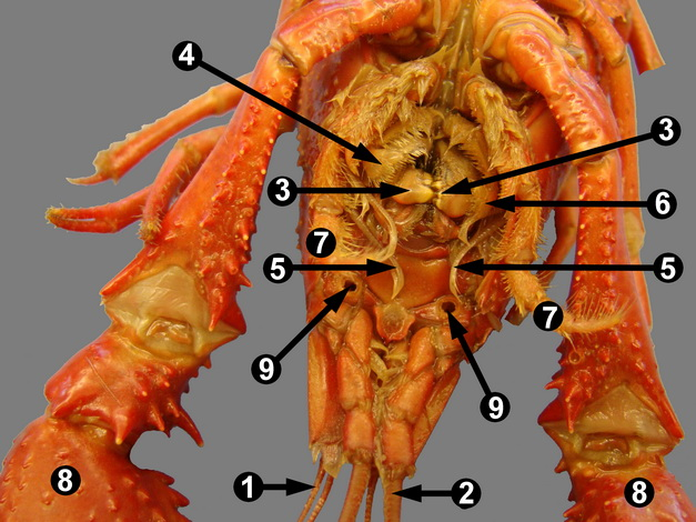 Crayfish Anatomy Further Lobster Anatomy Diagram Together With