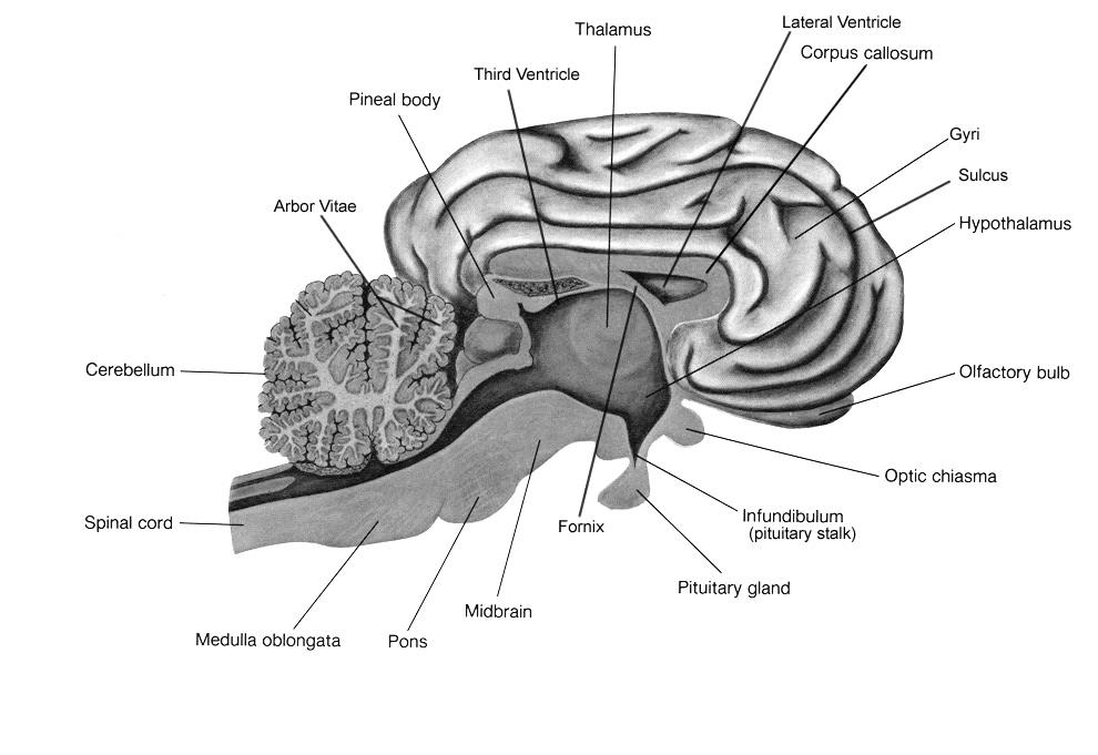 Sheep Brain Dissection Lab Companion