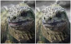 Marine iguana from Fernandina