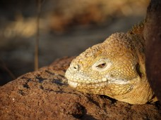 "In ""The Voyage of the Beagle"", Charles Darwin described the Galapagos land iguana as ""ugly animals, of a yellowish orange beneath, and of a brownish-red colour above: from their low facial angle they have a singularly stupid appearance."" I think he was a bit unfair."