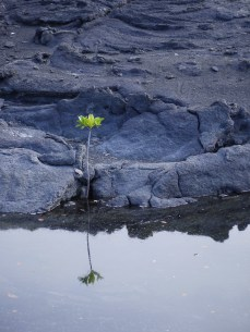 A mangrove shoot growing on a volcanic rock