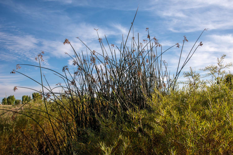 Grasses Against the Sky