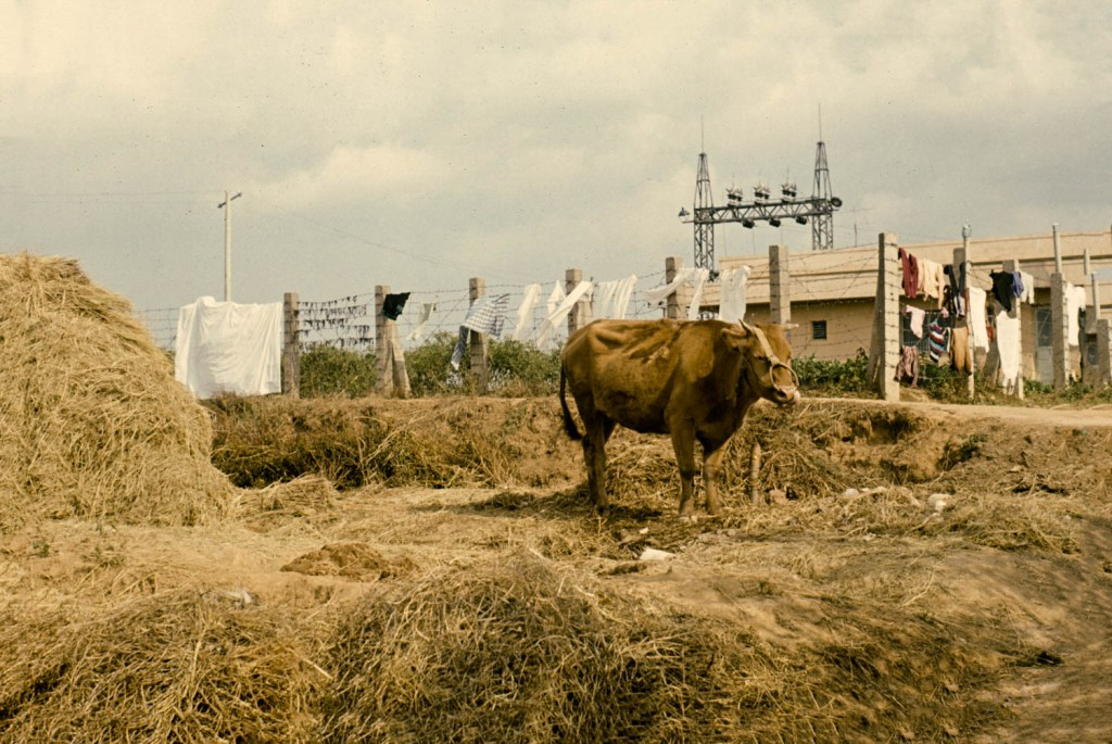 Korean Cow (1967)