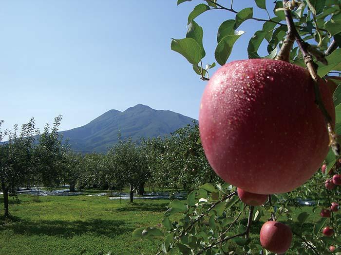 先代である父親から引き継いだりんご農園。自然栽培農法の一つにりんごの周りの葉は取らないとあるが、りんごが葉の影にならないように何度も何度もりんごを回して、太陽の光が万遍なく当たるようにしているという。根気のいる、気の遠くなるような作業も怠らない