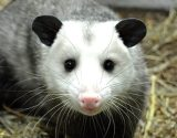 O is for Opossum -- A-Z Challenge