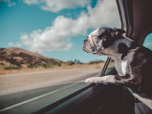 Dog leaning on an open window of a car, enjoying the breeze.