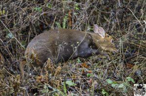 Muntjac Deer creeping through bracken and brambles
