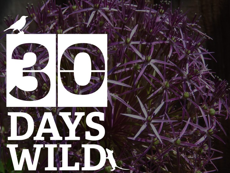 Day 1 of 30 Days wild. Purple flower with white 30 days wild logo overlay