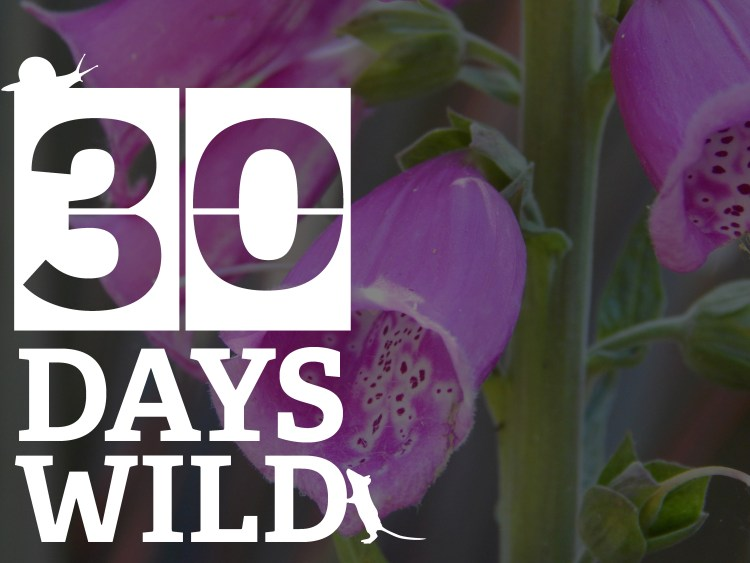 30 days wild logo over foxgloves