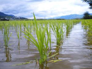 ASM14---02---PR---Rice-Planting-Field-Trip-final