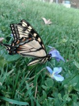 The Canadian Tiger Swallowtail (Papilio canadensis)