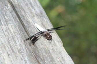 dragonfly2 (1)