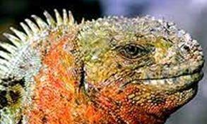 Las exóticas, y diferente variables de Iguanas, constituyen uno de los atractivos de Galápagos