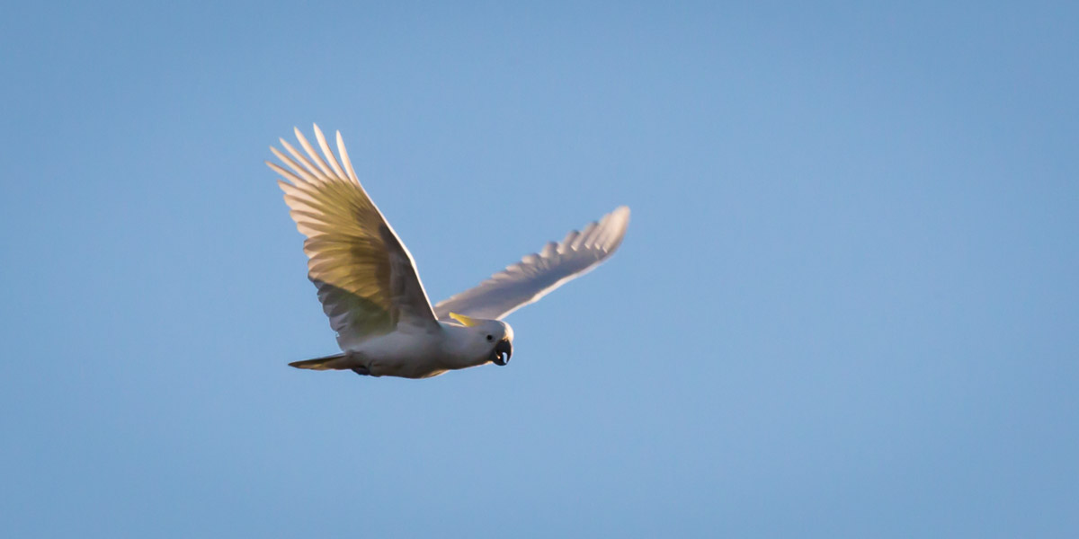 A Sulphur-crested Cockatoo's Morning Flight
