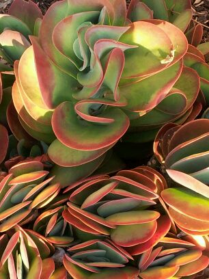 "CC ""Succulent in Alameda, California"" by Nimmi Solomon"