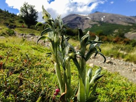 orquidea porcelana - torres del paine