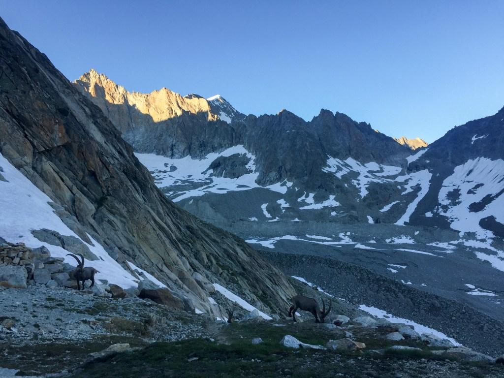 steinbock swiss alps
