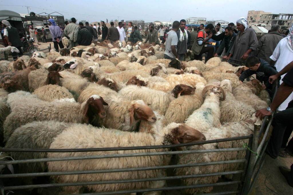Animals before slaughter for the Eid al-Adha holiday in Gaza.