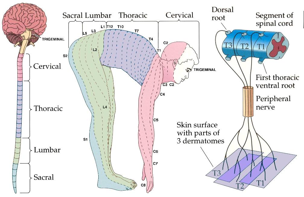 l4 nerve pain diagram 2006 f150 radio wiring dermatomes | jc physiotherapy
