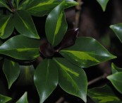 dark green foliage plants