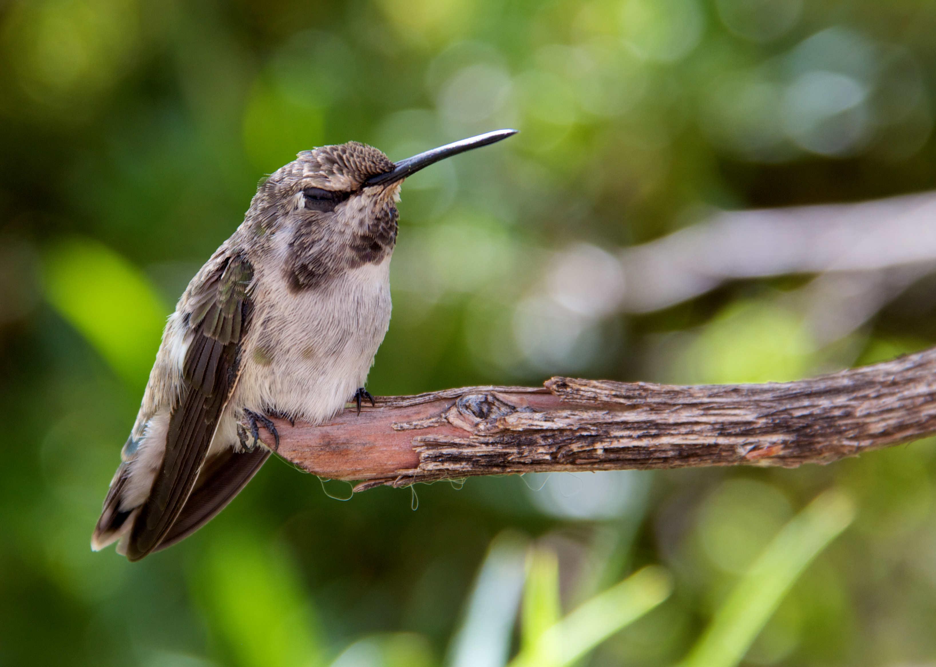 Humming Bird in Sonoran Desert