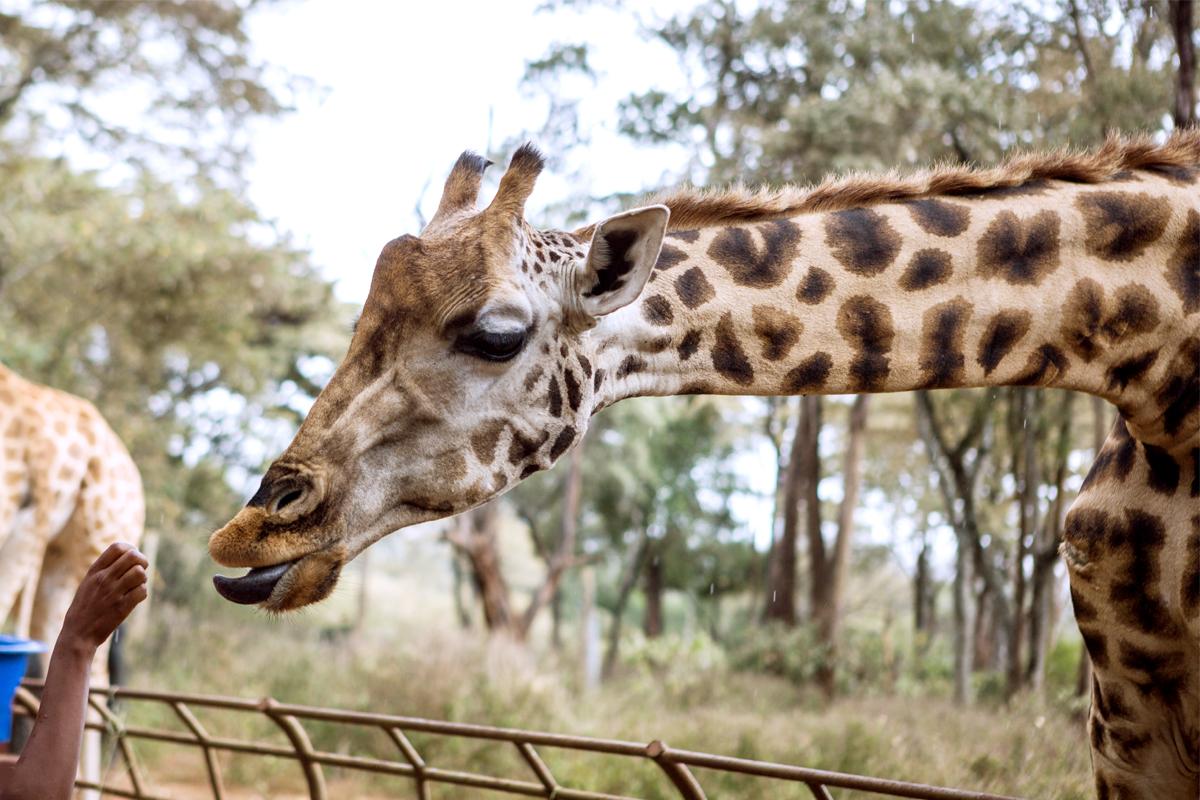探訪非洲10日~肯亞動物˙三大國家公園 2020/08/14 -康永旅行社