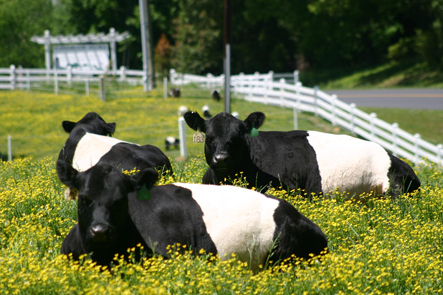 fearrington_cows