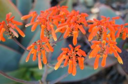 Aloe striata flowers