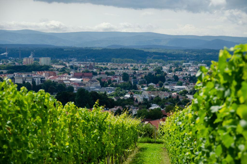 Widok na Jasło pomiędzy dwoma rzędami winirośli z winnicy miejskiej Jasła.