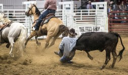 Beau Franzen of Sidney, MT takes down a steer during the Devils Lake NDRA Shootout at the Burdick Arena in Devils Lake, ND on Saturday, September 24, 2016. (Joshua Komer/Grand Forks Herald)