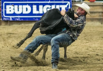 Alan Oberfell of Pine River, MN brings down a steer during the Steer Wrestling event at the Devils Lake NDRA Shootout at the Burdick Arena in Devils Lake, ND on Saturday, September 24, 2016. (Joshua Komer/Grand Forks Herald)