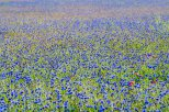 Cornflowers and Poppies