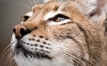 European Lynx - Cat Survival Trust