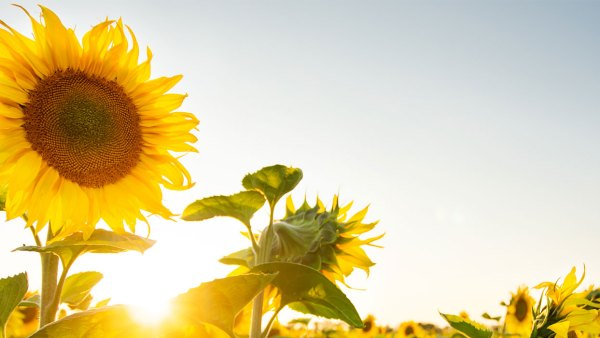 Charity sunflower growing challenge