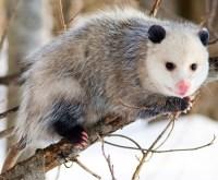 Opossum Removal Lake County Illinois | Possum Removal ...