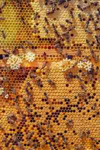 pollen_frais