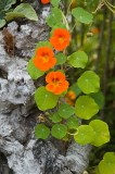 capucines : fleurs comestibles
