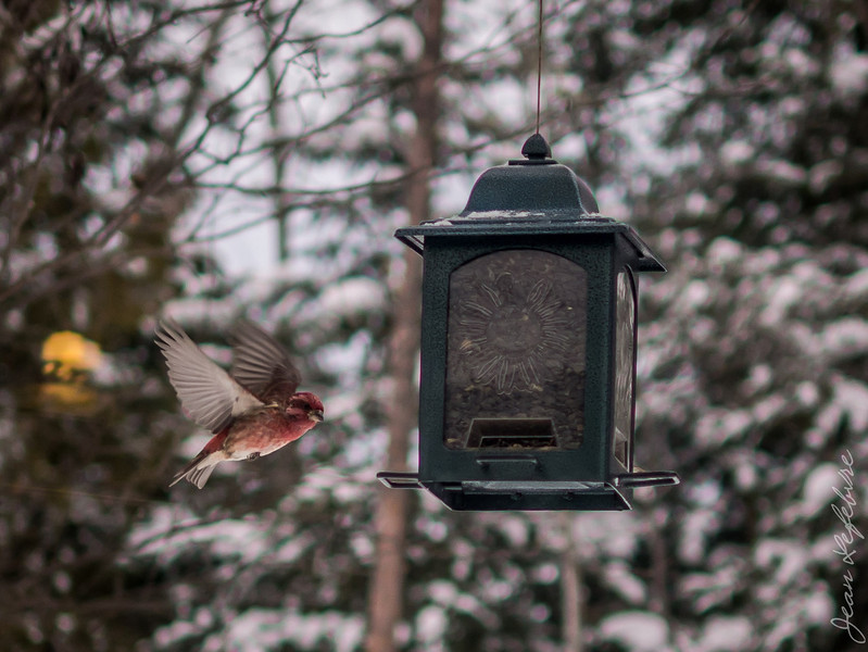 Bird flying to feeder