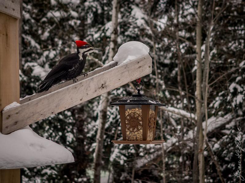 Woodpecker preparing to eat