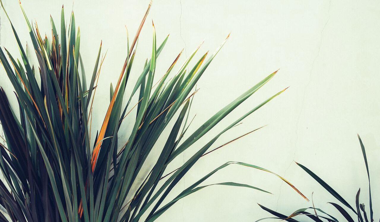 Palm tree like plant against a white wall.