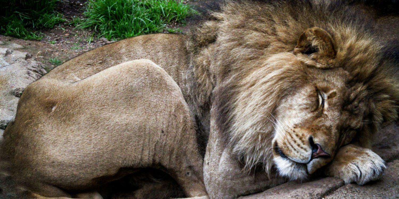 Male lion sleeping by himself.