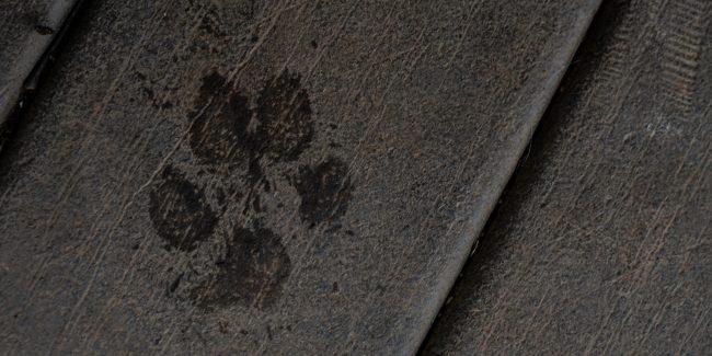 Single dog paw print on a wood deck.