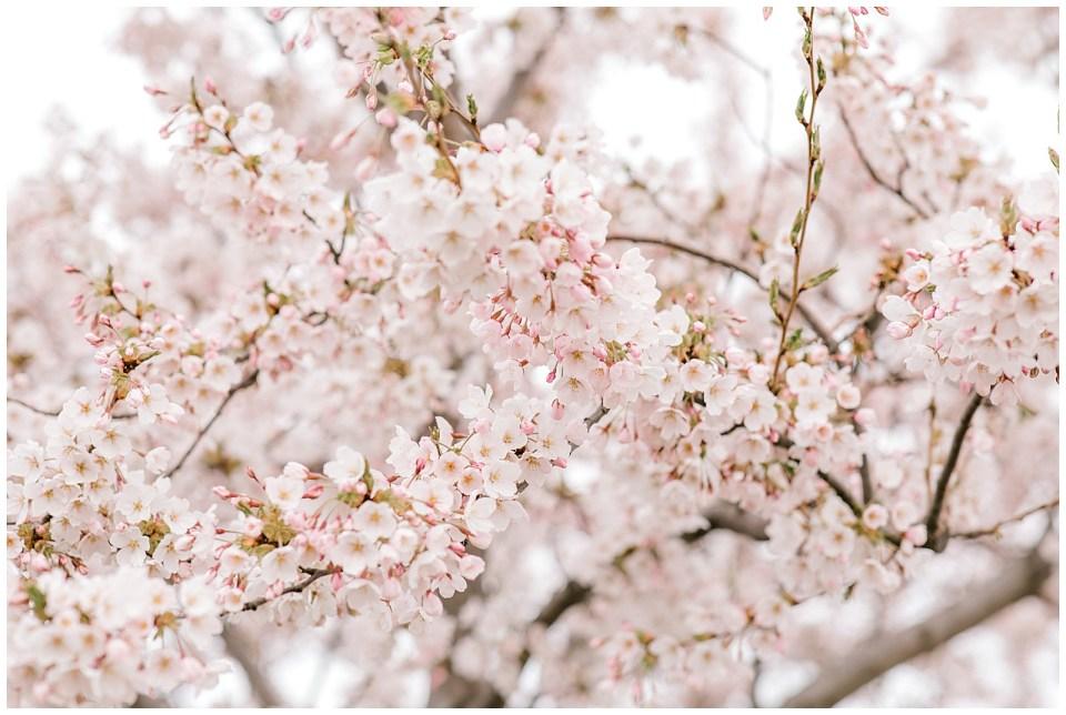 Københavns kirsebærstræer til foråret 2019