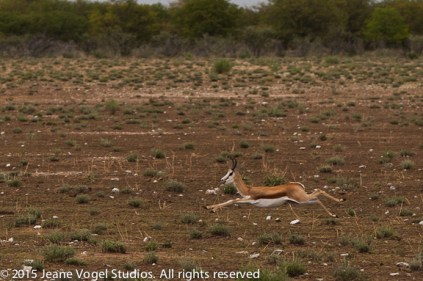 Springbok at play. ©2015 Jeane Vogel Studios