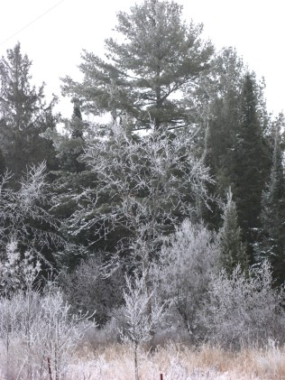 I liked the frosty contrast backed by a large white pine and several spruce.