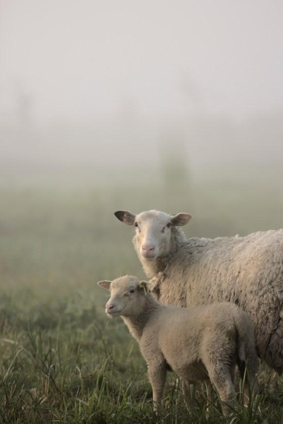 Tweede ronde schapen in de mist