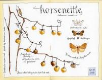 horsenettle-2014_800